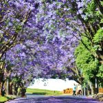 Jacarandas in bloom signals it's time for researchers to acquit their research grants.